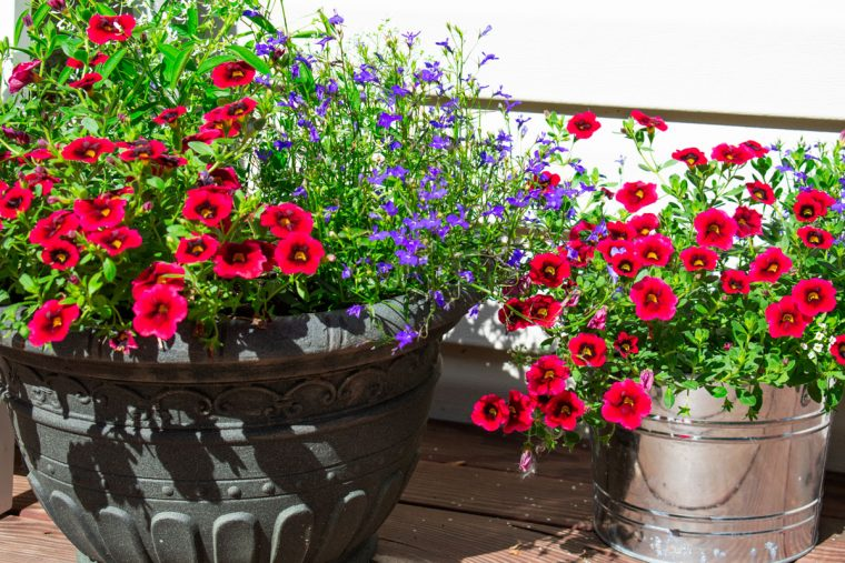 Red, white and blue potted flowers.