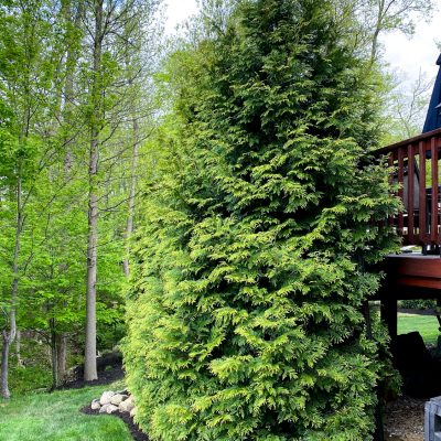 Fast Growing Privacy Trees & Tips For Planting Evergreens