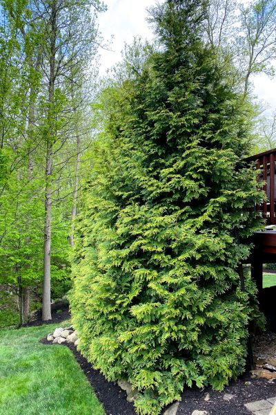 Green Giant Western Cedars planted for privacy in a backyard.