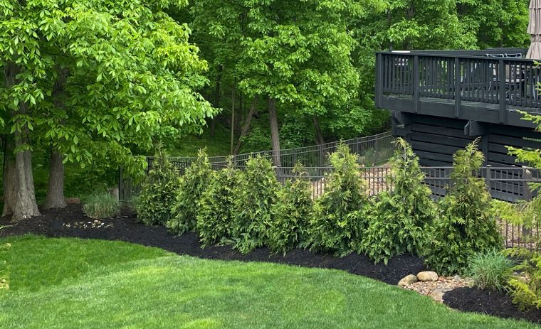Fast growing privacy trees planted in a row along a backyard fence.