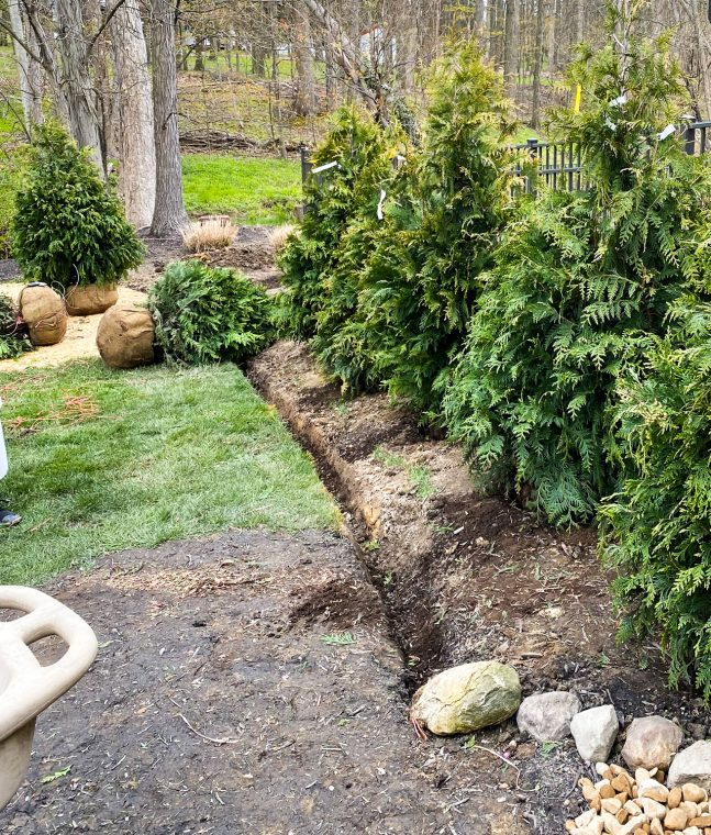 Planting fast growing evergreen trees along a fence for privacy.