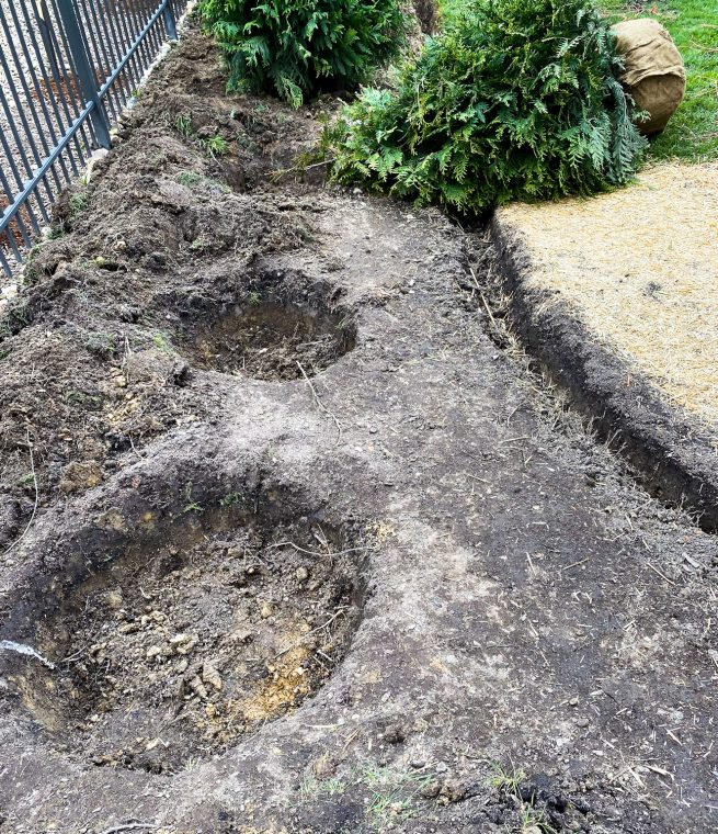 How to dig a hole for evergreen privacy trees in the backyard.