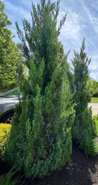 Juniper trees along front driveway planted as privacy hedges.