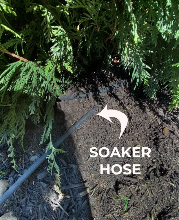 Soaker hose placed along the drip line of an evergreen tree.