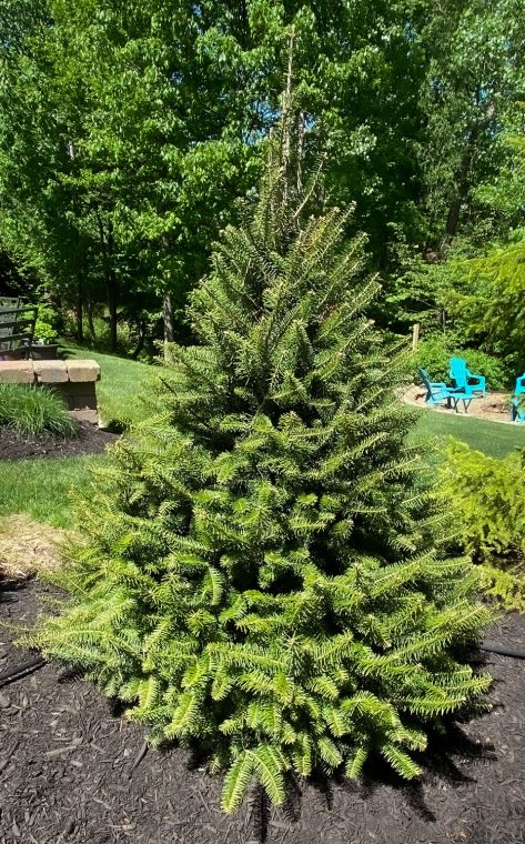 Picture of a balsam fir used in backyard landscaping.